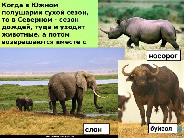 Когда в Южном полушарии сухой сезон, то в Северном - сезон дождей, туда и уходят животные, а потом возвращаются вместе с дождями. носорог слон буйвол