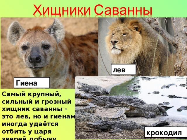 лев Гиена Самый крупный, сильный и грозный хищник саванны - это лев, но и гиенам иногда удаётся отбить у царя зверей добычу крокодил