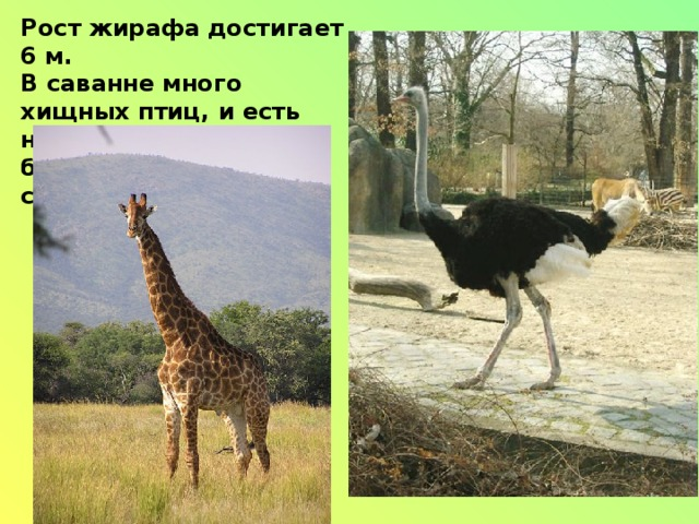 Рост жирафа достигает 6 м. В саванне много хищных птиц, и есть нелетающие, но быстробегающие страусы.