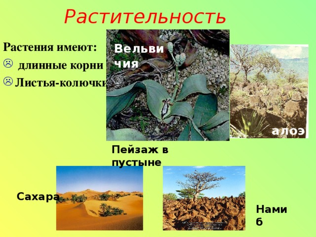 Растительность Растения имеют:  длинные корни Листья-колючки Вельвичия алоэ Пейзаж в пустыне Сахара Намиб