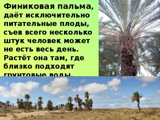 Финиковая пальма , даёт исключительно питательные плоды, съев всего несколько штук человек может не есть весь день. Растёт она там, где близко подходят грунтовые воды.