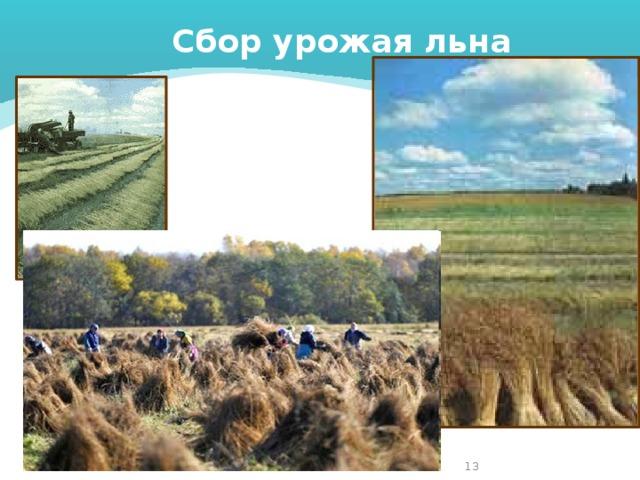 Сбор урожая льна 4