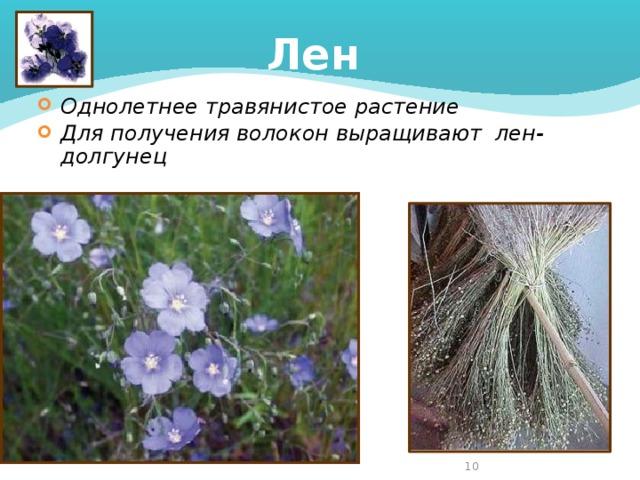 Лен Однолетнее травянистое растение Для получения волокон выращивают лен-долгунец  4