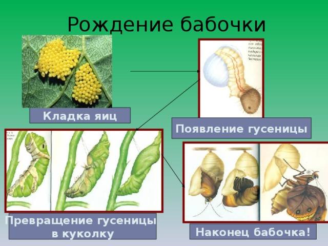 Рождение бабочки Кладка яиц Появление гусеницы Превращение гусеницы в куколку Наконец бабочка!