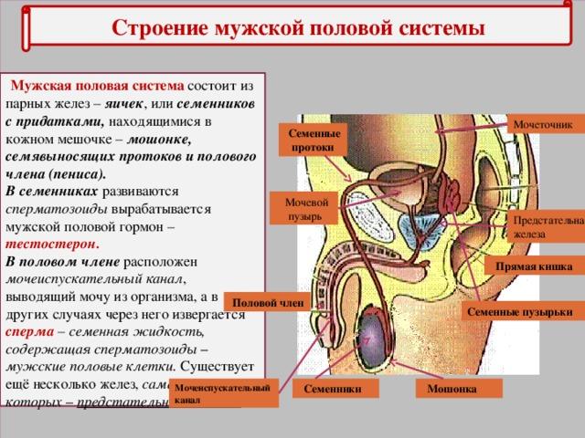 Строение мужской половой системы  Мужская половая система состоит из парных желез – яичек , или семенников с придатками, находящимися в кожном мешочке – мошонке,  семявыносящих протоков и полового члена (пениса). В семенниках развиваются сперматозоиды вырабатывается мужской половой гормон – тестостерон. В половом члене расположен мочеиспускательный канал , выводящий мочу из организма, а в других случаях через него извергается сперма – семенная жидкость, содержащая сперматозоиды – мужские половые клетки. Существует ещё несколько желез, самая крупная из которых – предстательная железа. Мочеточник  Семенные протоки  Мочевой  пузырь Предстательная железа  Прямая кишка  Половой член Семенные пузырьки  Мошонка Мочеиспускательный канал  Семенники