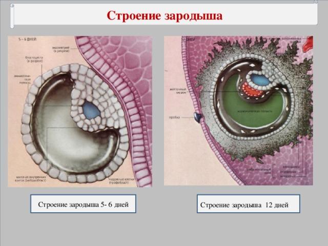 Строение зародыша Строение зародыша 5- 6 дней Строение зародыша 12 дней