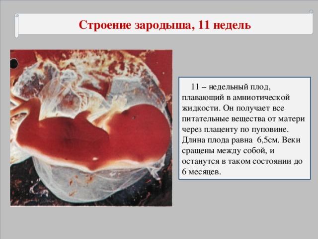 Строение зародыша, 11 недель   11 – недельный плод, плавающий в амниотической жидкости. Он получает все питательные вещества от матери через плаценту по пуповине. Длина плода равна 6,5см. Веки сращены между собой, и останутся в таком состоянии до 6 месяцев.