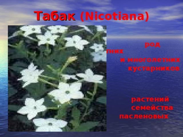 Табак (Nicotiana)   род однолетних  и многолетних  кустарников и  травянистых  растений  семейства  пасленовых