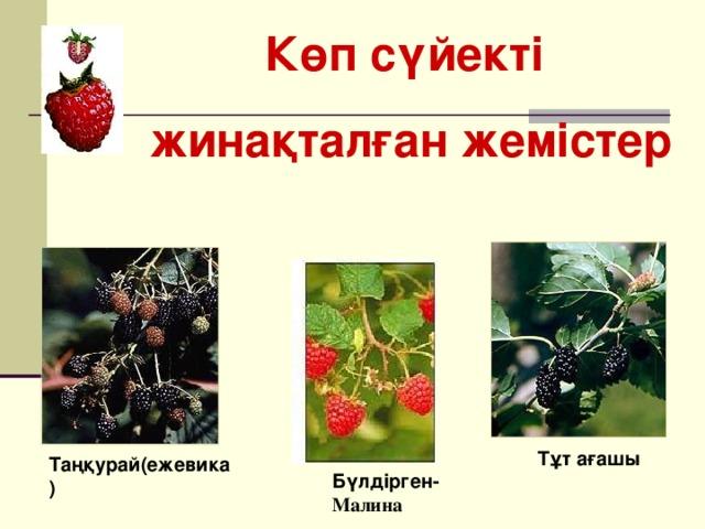 Көп сүйекті жинақталған жемістер Тұт ағашы Таңқурай(ежевика) Бүлдірген- Малина