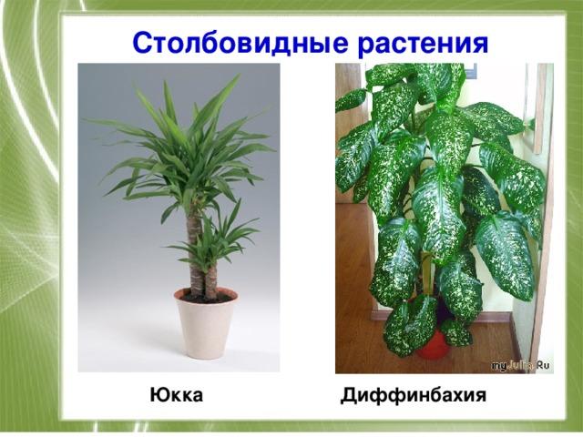 Столбовидные растения Юкка Диффинбахия