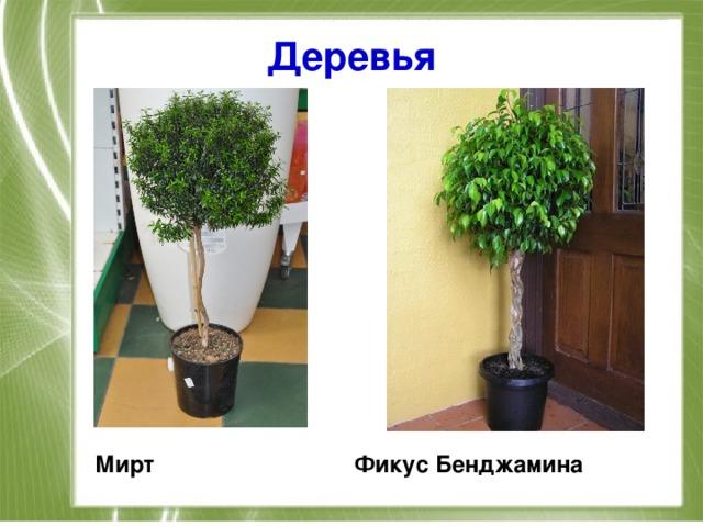 Деревья Мирт Фикус Бенджамина