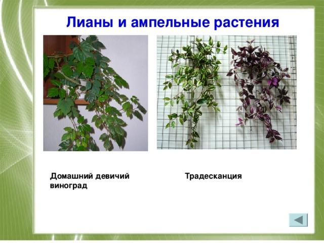 Лианы и ампельные растения  Домашний девичий Традесканция  виноград