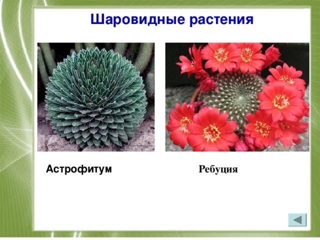 Шаровидные растения Астрофитум Ребуция
