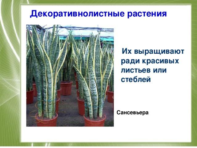 Декоративнолистные растения  Их выращивают ради красивых листьев или стеблей   Сансевьера