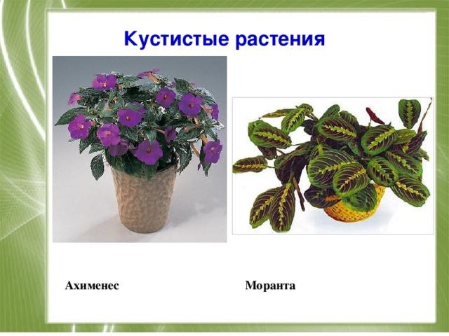 Кустистые растения      Ахименес Моранта