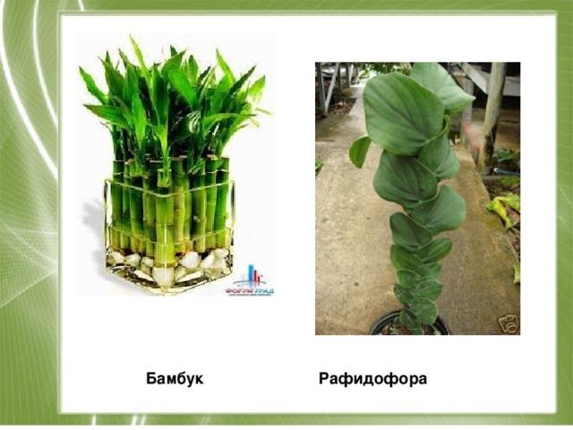 Бамбук Рафидофора