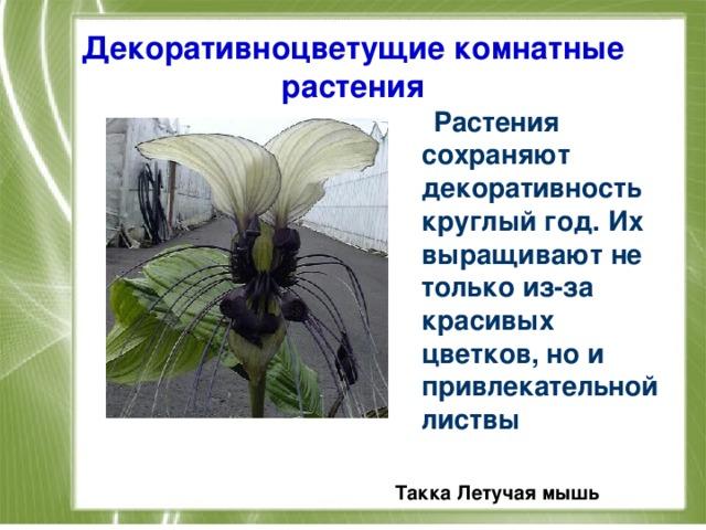 Декоративноцветущие комнатные растения  Растения сохраняют декоративность круглый год. Их выращивают не только из-за красивых цветков, но и привлекательной листвы  Такка Летучая мышь