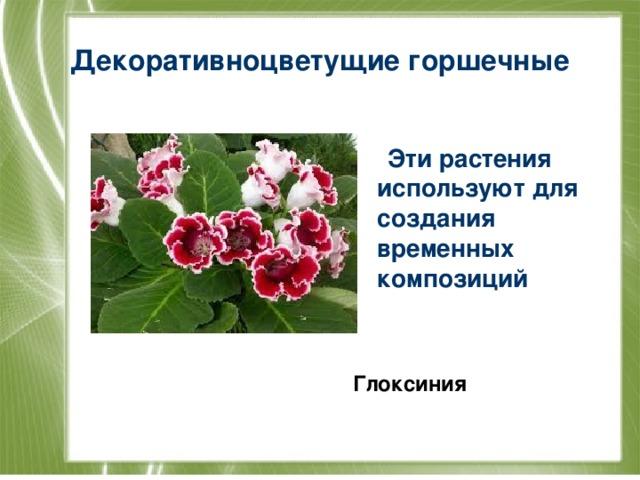 Декоративноцветущие горшечные  Эти растения используют для создания временных композиций   Глоксиния
