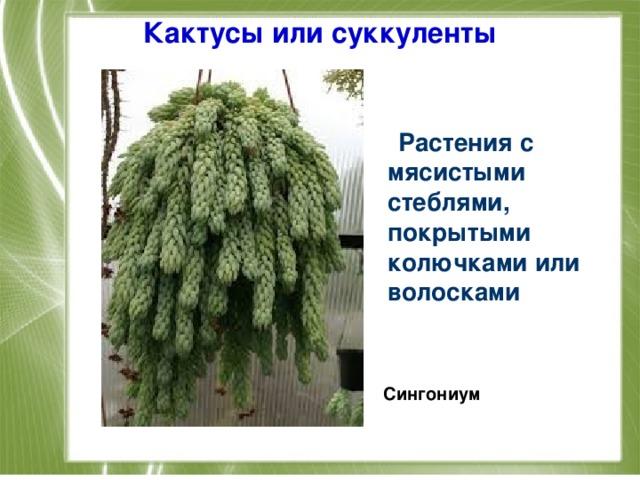 Кактусы или суккуленты    Растения с мясистыми стеблями, покрытыми колючками или волосками    Сингониум
