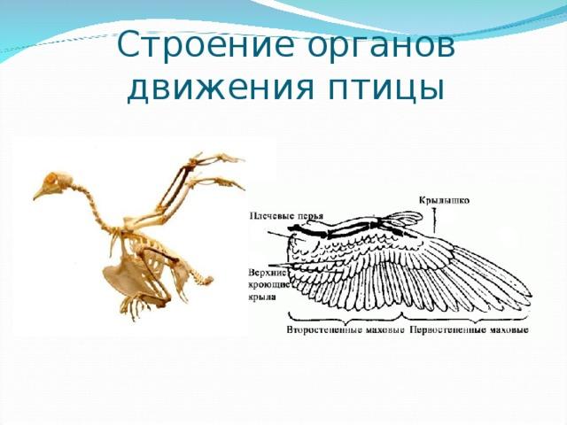 Строение органов движения птицы