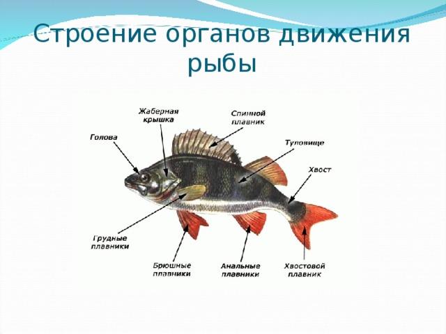 Строение органов движения рыбы