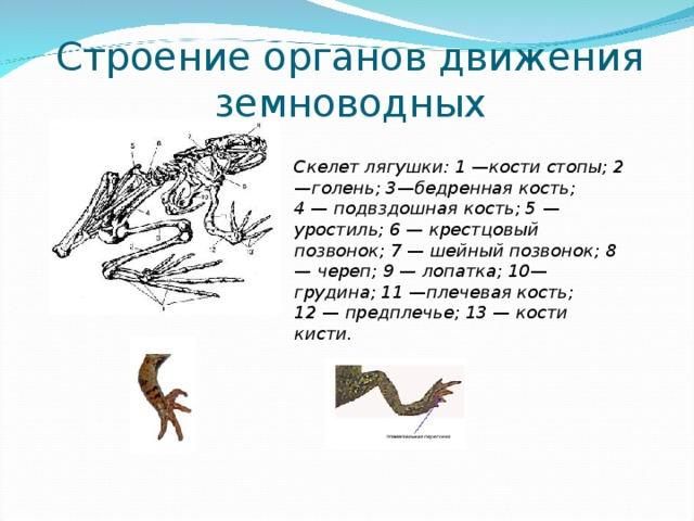 Строение органов движения земноводных Скелет лягушки: 1 — кости стопы; 2 —голень; 3 — бедренная кость; 4 — подвздошная кость; 5 — уростиль; 6 — крестцовый позвонок; 7 — шейный позвонок; 8 — череп; 9 — лопатка; 10 — грудина; 11 — плечевая кость; 12 — предплечье; 13 — кости кисти.