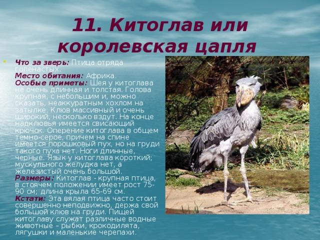 11. Китоглав или королевская  цапля