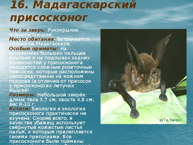 16. Мадагаскарский присосконог