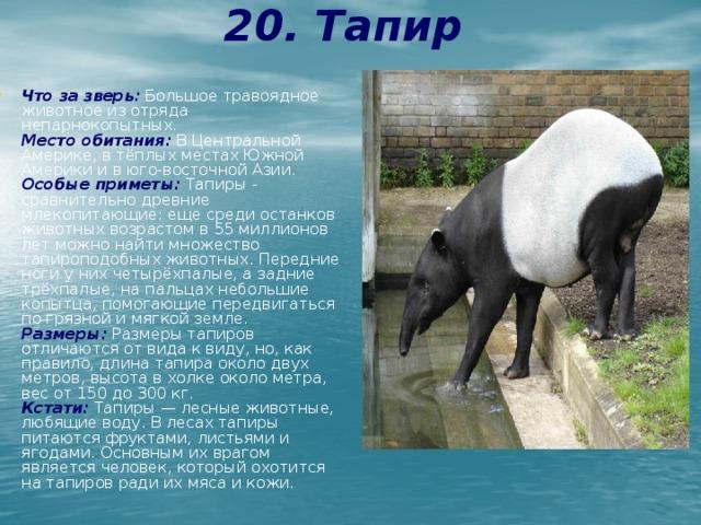 20. Тапир