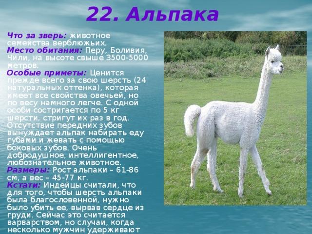 22. Альпака