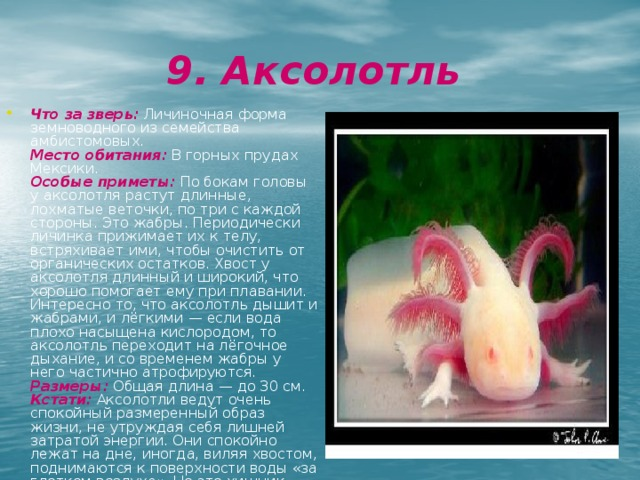 9. Аксолотль