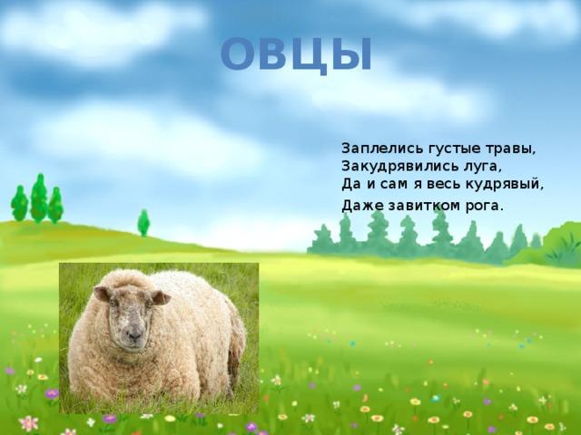 Овцы Заплелись густые травы,  Закудрявились луга,  Да и сам я весь кудрявый,  Даже завитком рога.