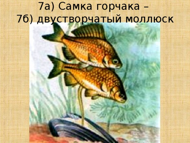 7а) Самка горчака –  7б) двустворчатый моллюск