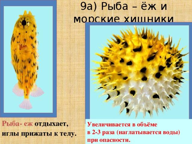 9а) Рыба – ёж и морские хищники Рыба- еж отдыхает, иглы прижаты к телу. Увеличивается в объёме  в 2-3 раза (наглатывается воды) при опасности.
