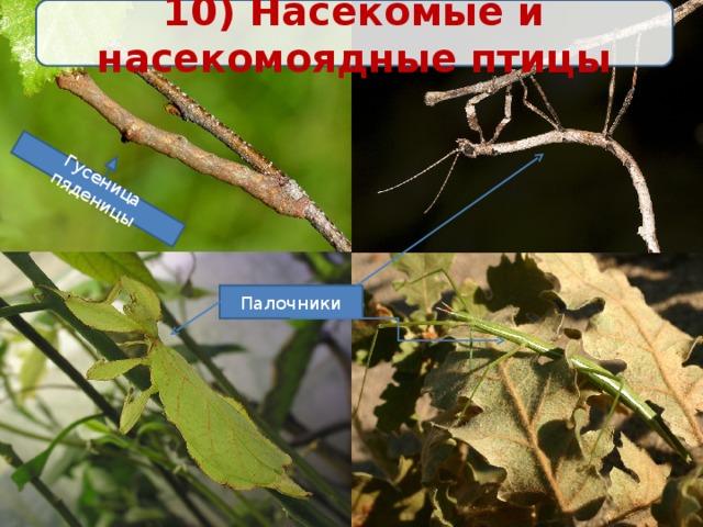 10) Насекомые и насекомоядные птицы Гусеница пяденицы Палочники