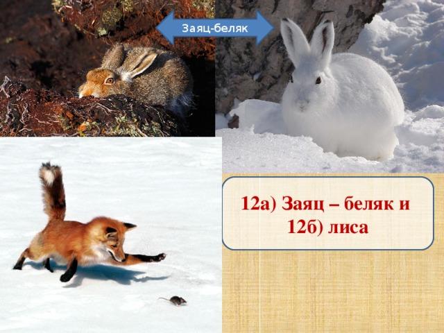 Заяц-беляк 12а) Заяц – беляк и 12б) лиса