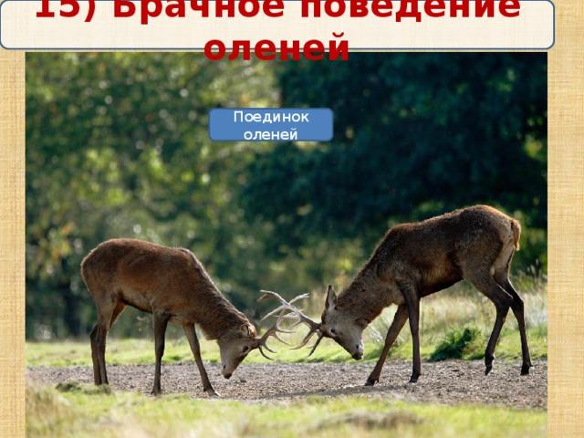 15) Брачное поведение оленей Поединок оленей
