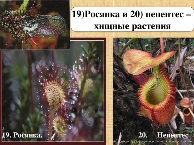 19)Росянка и 20) непентес – хищные растения 19. Росянка. 20. Непентес
