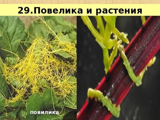 29.Повелика и растения повилика заразиха