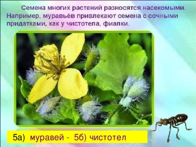5а) муравей - 5б) чистотел