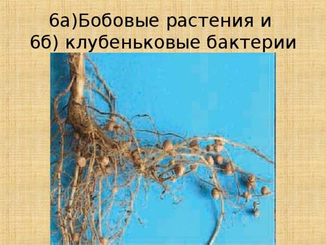6а)Бобовые растения и  6б) клубеньковые бактерии