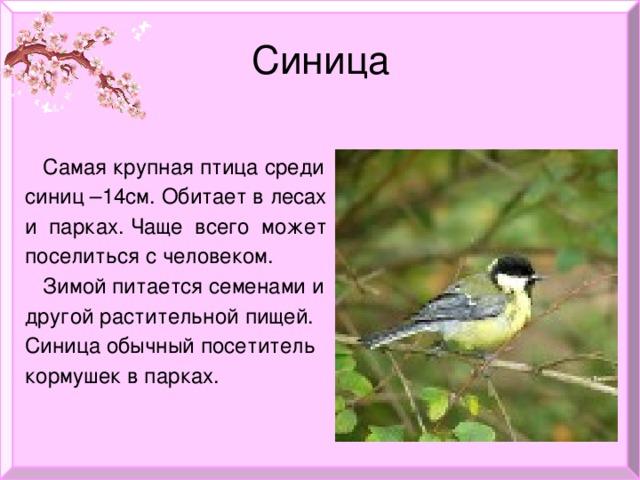 Синица  Самая крупная птица среди  синиц –14см. Обитает в лесах  и парках. Чаще всего может  поселиться с человеком.  Зимой питается семенами и  другой растительной пищей.  Синица обычный посетитель  кормушек в парках.