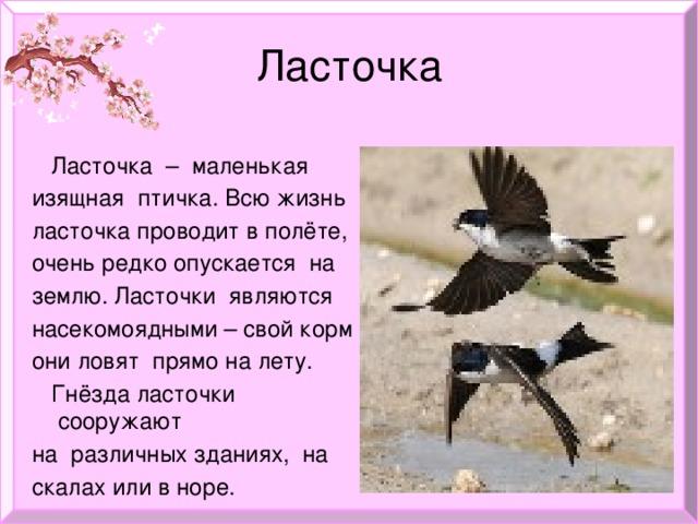 Ласточка  Ласточка – маленькая изящная птичка. Всю жизнь ласточка проводит в полёте, очень редко опускается на землю. Ласточки являются насекомоядными – свой корм они ловят прямо на лету.  Гнёзда ласточки сооружают на различных зданиях, на скалах или в норе.