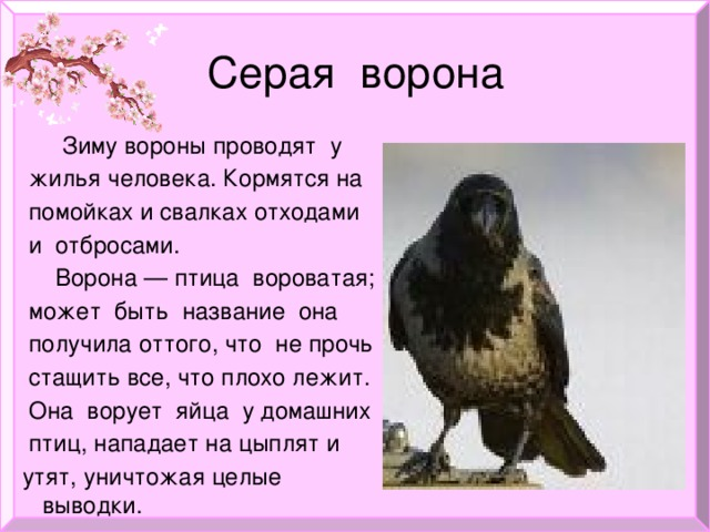 Серая ворона  Зиму вороны проводят у  жилья человека. Кормятся на  помойках и свалках отходами  и отбросами.  Ворона — птица вороватая;  может быть название она  получила оттого, что не прочь  стащить все, что плохо лежит.  Она ворует яйца у домашних  птиц, нападает на цыплят и  утят, уничтожая целые выводки.