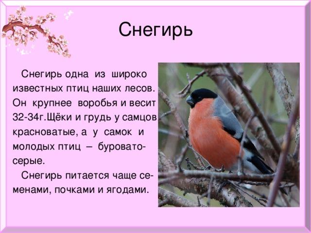 Снегирь  Снегирь одна из широко  известных птиц наших лесов.  Он крупнее воробья и весит  32-34г.Щёки и грудь у самцов  красноватые, а у самок и  молодых птиц – буровато-  серые.  Снегирь питается чаще се-  менами, почками и ягодами.