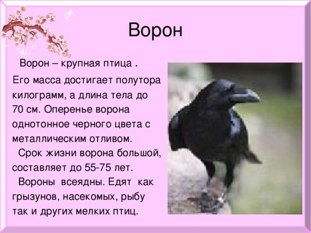 Ворон  Ворон – крупная птица .  Его масса достигает полутора  килограмм, а длина тела до  70 см. Оперенье ворона  однотонное черного цвета с  металлическим отливом.  Срок жизни ворона большой,  составляет до 55-75 лет.  Вороны всеядны. Едят как  грызунов, насекомых, рыбу  так и других мелких птиц.