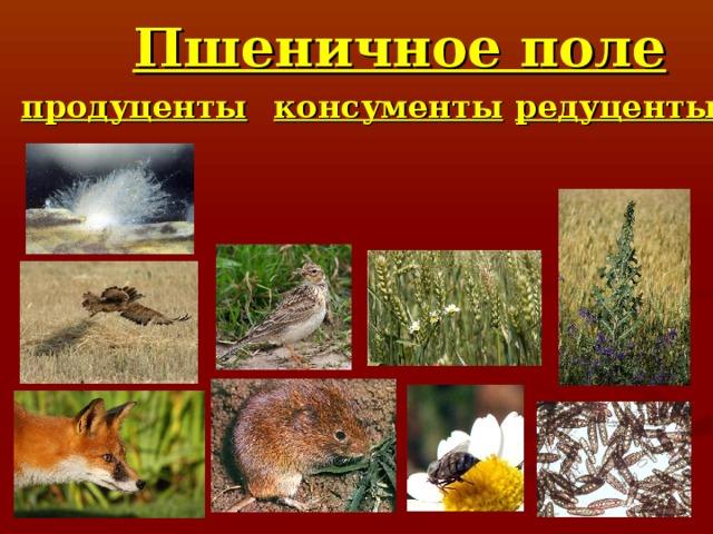 Пшеничное поле продуценты консументы редуценты