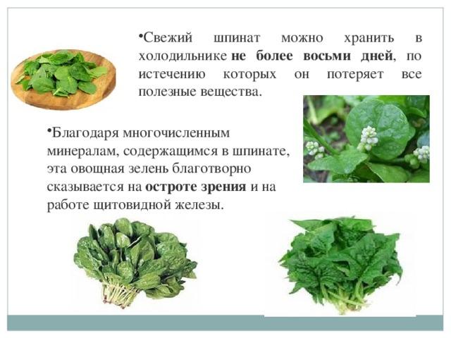 Свежий шпинат можно хранить в холодильнике не более восьми дней , по истечению которых он потеряет все полезные вещества. Благодаря многочисленным минералам, содержащимся в шпинате, эта овощная зелень благотворно сказывается на остроте зрения и на работе щитовидной железы.