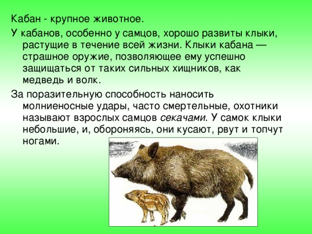 Кабан - крупное животное. У кабанов, особенно у самцов, хорошо развиты клыки, растущие в течение всей жизни. Клыки кабана — страшное оружие, позволяющее ему успешно защищаться от таких сильных хищников, как медведь и волк. За поразительную способность наносить молниеносные удары, часто смертельные, охотники называют взрослых самцов секачами. У самок клыки небольшие, и, обороняясь, они кусают, рвут и топчут ногами.