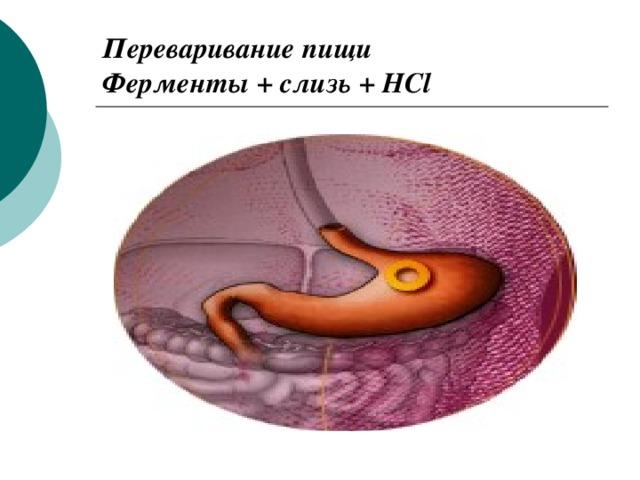 Переваривание пищи  Ферменты + слизь + HCl